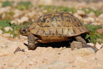 Maurische Landschildkröte (Testudo graeca graeca) auf Sardinien © Beatrice Prève – http://www.fotolia.de