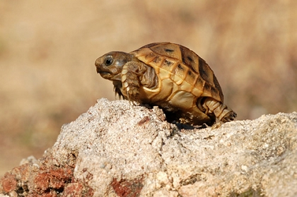 Schlüpfling einer Maurischen Landschildkröte (Testudo graeca)