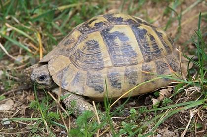 Häufig anzutreffende Färbung der östlichen Griechischen Landschildkröte (Testudo hermanni boettgeri) © Dominik Müller