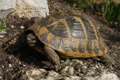 Kräftige Färbung einer Griechischen Landschildkröte (Testudo hermanni boettgeri) © Dominik Müller