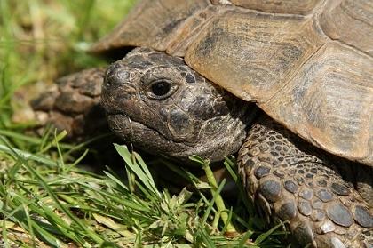 Portrait einer Eurasischen Landschildkröte (Testudo graeca ibera)