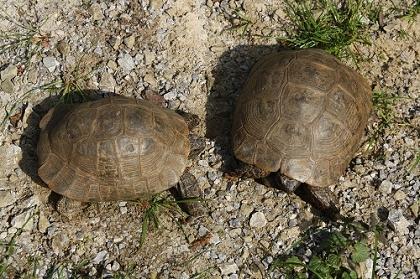 Pärchen der Eurasischen Landschildkröte (Testudo graeca ibera), links Männchen, rechts Weibchen