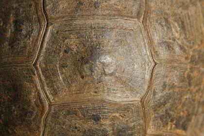Wirbelschild (Vertebrale) einer Eurasischen Landschildkröte (Testudo graeca ibera)