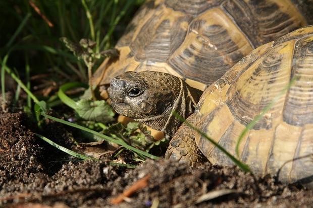 Seitliche Kopfaufnahme einer männlichen Griechischen Landschildkröte (Testudo hermanni boettgeri) © Dominik Müller