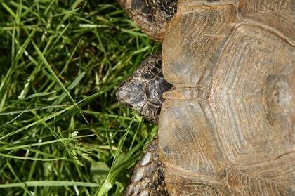 Nackenschild der Eurasischen Landschildkröte (Testudo graeca ibera)
