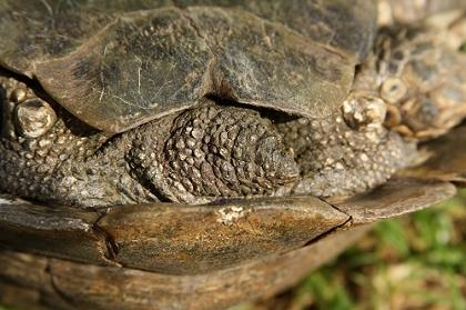 Schwanzbereich einer Eurasischen Landschildkröte (Testudo graeca ibera)