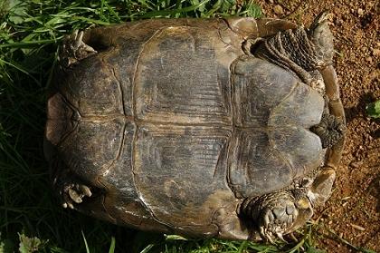 Bauchansicht (Ventralansicht) einer weiblichen Eurasischen Landschildkröte (Testudo graeca ibera)