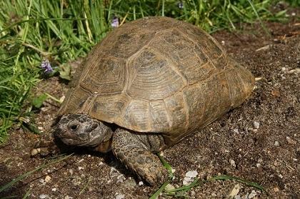 Weibliche Eurasische Landschildkröte (Testudo graeca ibera) bei der Suche nach einem geeigneten Eiablageplatz.