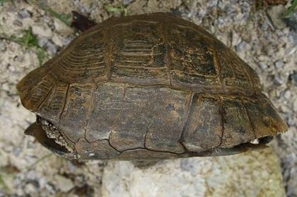 Seitliche (laterale) Ansicht einer Eurasischen Landschildkröte (Testudo graeca ibera)
