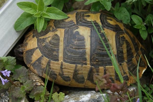 Seitenansicht einer weiblichen Griechischen Landschildkröte (Testudo hermanni boettgeri) © Dominik Müller