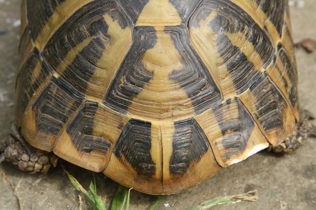 Schlüssellochzeichnung bei einer intensiv gefärbten Griechischen Landschildkröte (Testudo hermanni boettgeri) © Dominik Müller