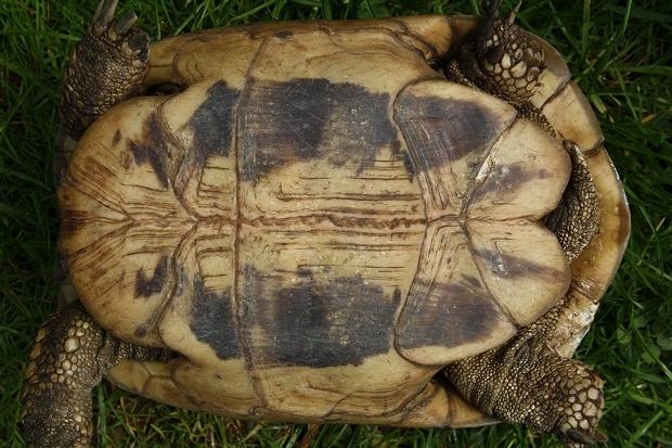 Bauchansicht einer weiblichen Griechischen Landschildkröte (Testudo hermanni boettgeri) © Dominik Müller