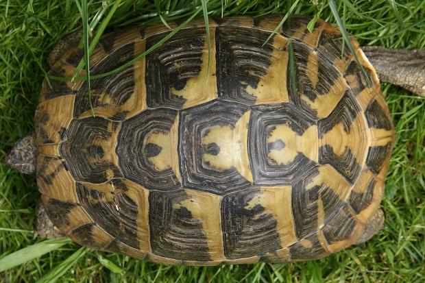 Rückenansicht einer weiblichen Griechischen Landschildkröte (Testudo hermanni boettgeri) © Dominik Müller