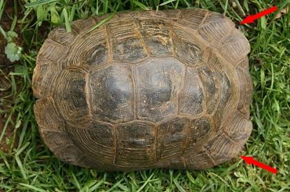 Rückenansicht (Dorsalansicht) einer männlichen Eurasischen Landschildkröte (Testudo graeca ibera)