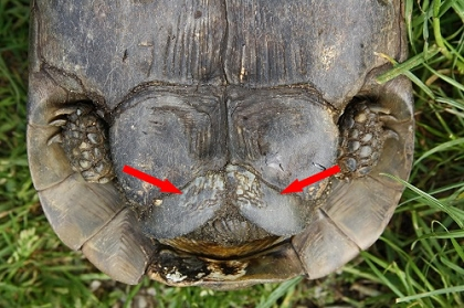 Schwanzbereich einer männlichen Eurasischen Landschildkröte (Testudo graeca ibera)