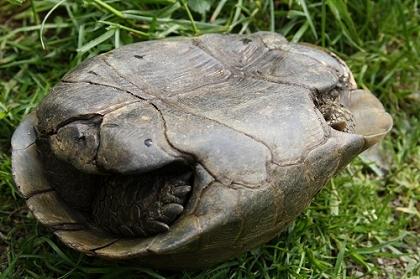 Einwölbung des Plastrons bei einer männlichen Eurasischen Landschildkröte (Testudo graeca ibera)