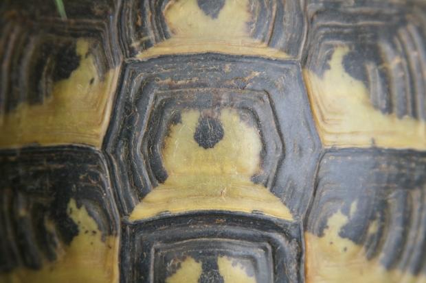 Wirbelschild der Griechischen Landschildkröte (Testudo hermanni boettgeri) © Dominik Müller