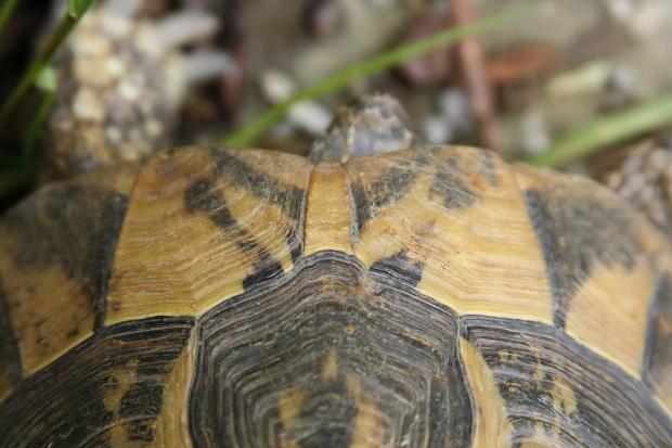 Nackenschild der Griechischen Landschildkröte (Testudo hermanni boettgeri) © Dominik Müller
