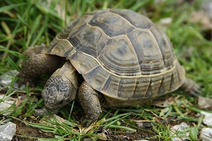 Portrait einer jungen Eurasischen Landschildkröte (Testudo graeca ibera)