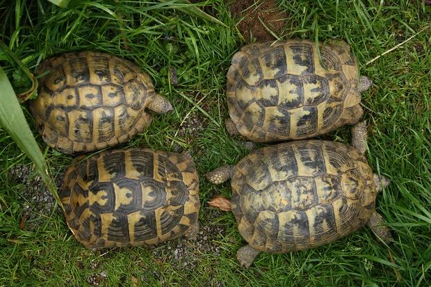 Vergleich der Geschlechter der Griechischen Landschildkröte (Testudo hermanni boettgeri), Männchen befindet sich oben links © Dominik Müller