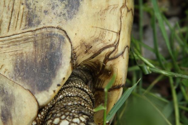 Hüftschild der Griechischen Landschildkröte (Testudo hermanni boettgeri) © Dominik Müller