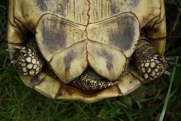 Afterschilde einer weiblichen Griechischen Landschildkröte (Testudo hermanni boettgeri) © Dominik Müller