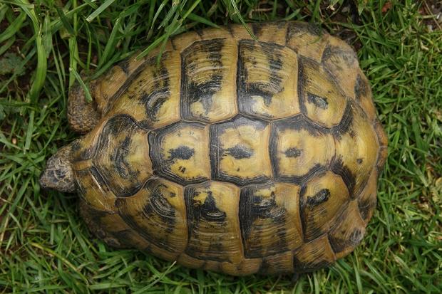 Rückenansicht einer männlichen Griechischen Landschildkröte (Testudo hermanni boettgeri) © Dominik Müller