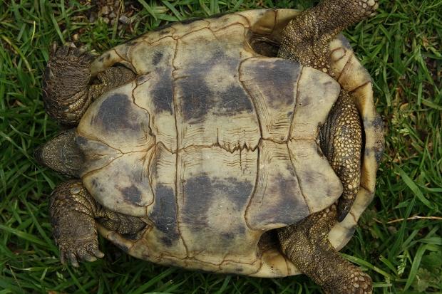 Bauchansicht einer männlichen Griechischen Landschildkröte (Testudo hermanni boettgeri) © Dominik Müller