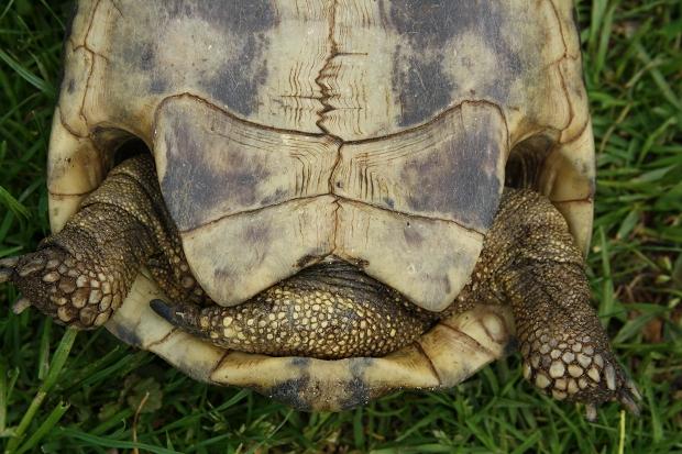Afterschilde einer männlichen Griechischen Landschildkröte (Testudo hermanni boettgeri) © Dominik Müller