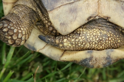 Verhornter Schenkelbereich der Griechischen Landschildkröte (Testudo hermanni boettgeri)