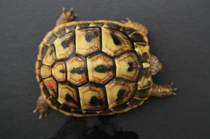 Zweijähriges Jungtier der Griechischen Landschildkröte (Testudo hermanni boettgeri)