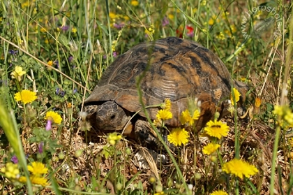 Eurasische Landschildkröte (Testudo graeca ibera) im natürlichen Lebensraum