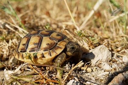 1-jährige Eurasische Landschildkröte (Testudo graeca ibera) im natürlichen Lebensraum