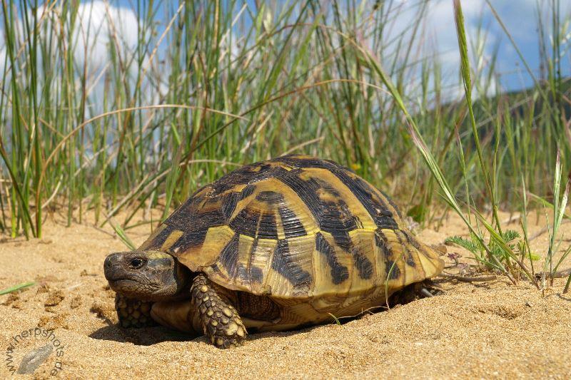 Griechische Landschildkröte (Testudo hermanni boettgeri) im natürlichen Lebensraum auf Korfu © S. Schmidt und A. Mohr, http://www.herpshots.de