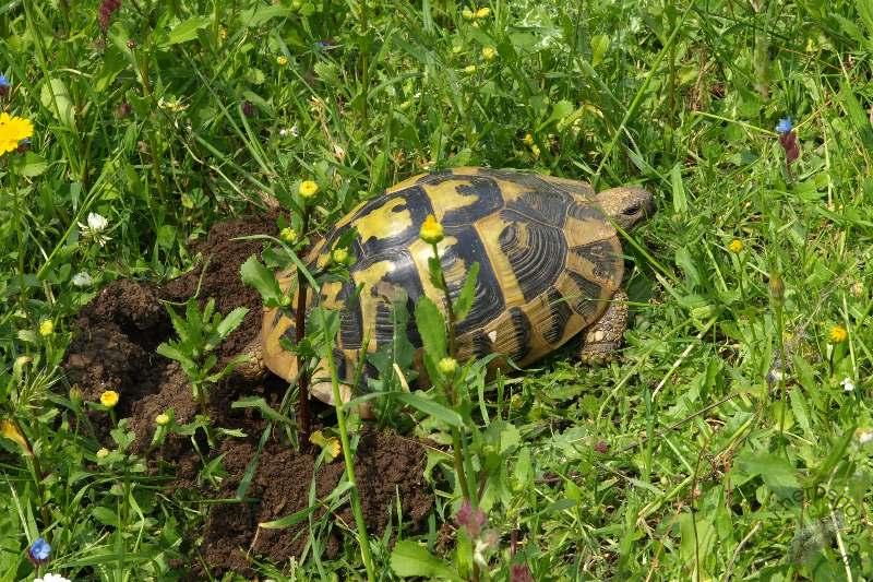 Eiablage einer Griechischen Landschildkröte (Testudo hermanni boettgeri) © S. Schmidt und A. Mohr, http://www.herpshots.de