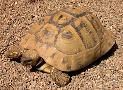 Griechische Landschildkröte (Testudo hermanni boettgeri) aus Bulgarien © Alessandro Fornetti (Camera) [GFDL (http://www.gnu.org/copyleft/fdl.html) oder CC-BY-SA-3.0 (http://creativecommons.org/licenses/by-sa/3.0/)], via Wikimedia Commons