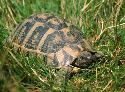 Dalmatinische Landschildkröte durchquert grasiges Gebiet im Biotop
