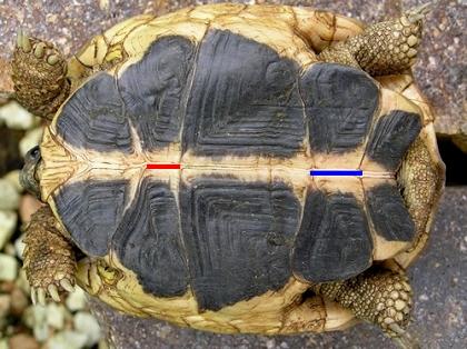 Bauchansicht (Ventralansicht) einer männlichen Italienischen Landschildkröte (Testudo hermanni hermanni)