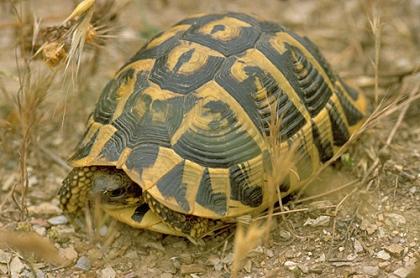 Weibliche Italienische Landschildkröte (Testudo hermanni hermanni) im natürlichen Lebensraum