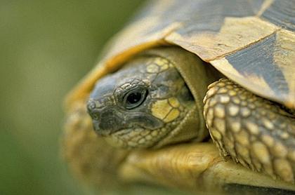 Typischer Wangenfleck der Italienischen Landschildkröte