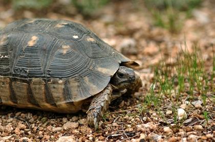 Breitrandschildkröte (Testudo marginata) im natürlichen Habitat in Griechenland