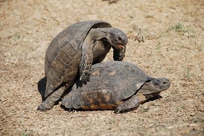 Testudo marginata (Breitrandschildkröte) bei der Paarung