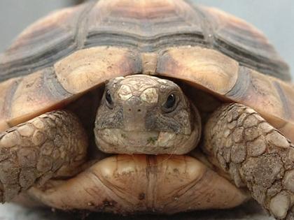 Kopfportrait einer Breitrandschildkröte (Testudo marginata)