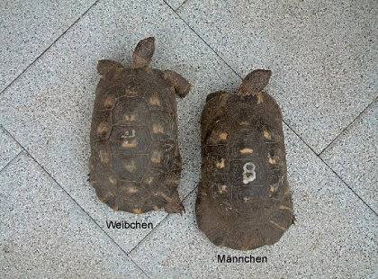 Breitrandschildkröten (Testudo marginata), Rückenansicht