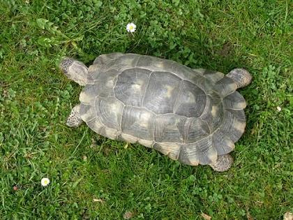 Männliche Breitrandschildkröte (Testudo marginata) von oben