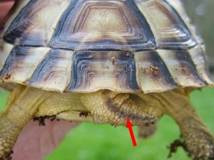 Der typische Schwanzstreifen der Breitrandschildkröte (Testudo marginata)