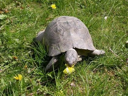 Breitrandschildkröte (Testudo marginata) beim Verzehren einer Löwenzahnblüte
