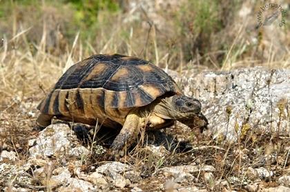 Weibliche Breitrandschildkröte (Testudo marginata) im natürlichen Lebensraum