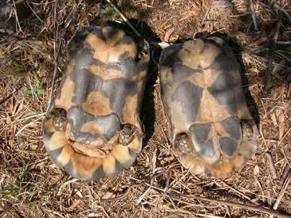 Geschlechtsunterschiede bei der Breitrandschildkröte (Testudo marginata)