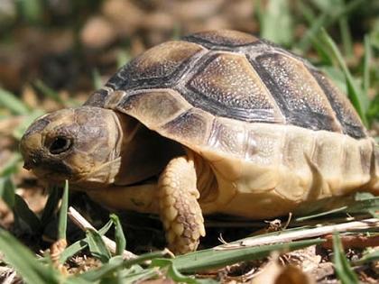 Junge Breitrandschildkröte (Testudo marginata) im natürlichen Lebensraum auf Sardinien